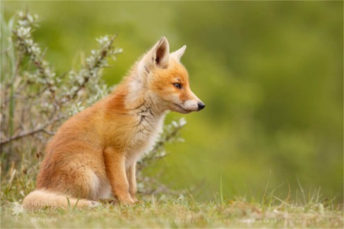 young red fox kit photo art wall decoration