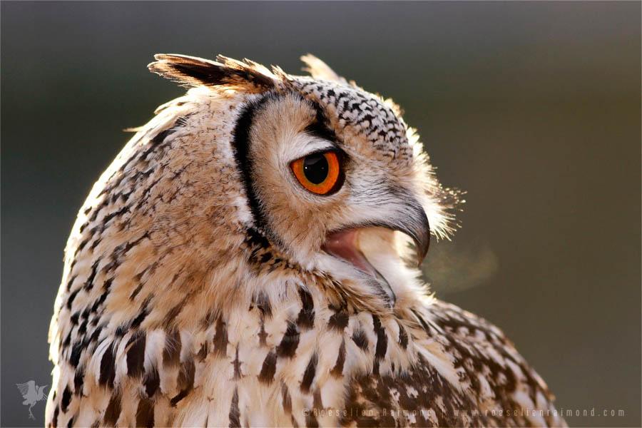 Portrait of a back lit Eurasian Eagle-Owl