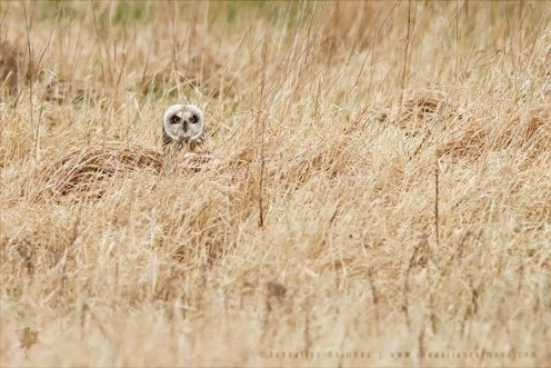 Short-eared Owl Asio flammeus hiding camouflage