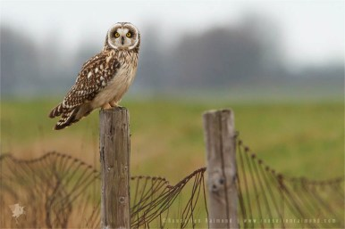 Short-eared owl sitting on a fence