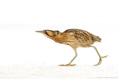 Eurasian Bittern Botaurus stellaris snow ice winter cold frozen