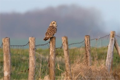 MG_3830_short_eared_owl