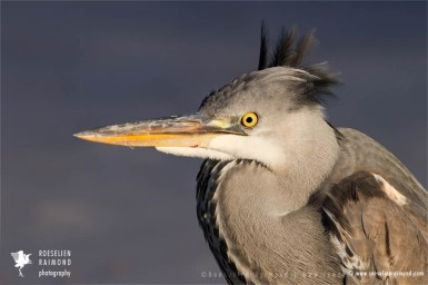 Portrait of a juvenile Grey heron (Ardea cinerea) on a cold winter day