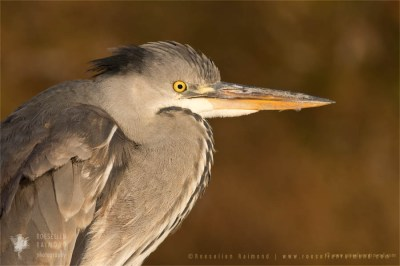 Grey heron Ardea cinerea winter ice cold