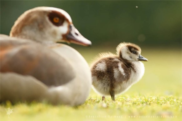 Baby Egyptian Gosling and its Mother Goose