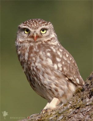 Little Owl (Athene noctua) with a bloody beak