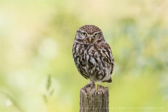 little_owl_perch