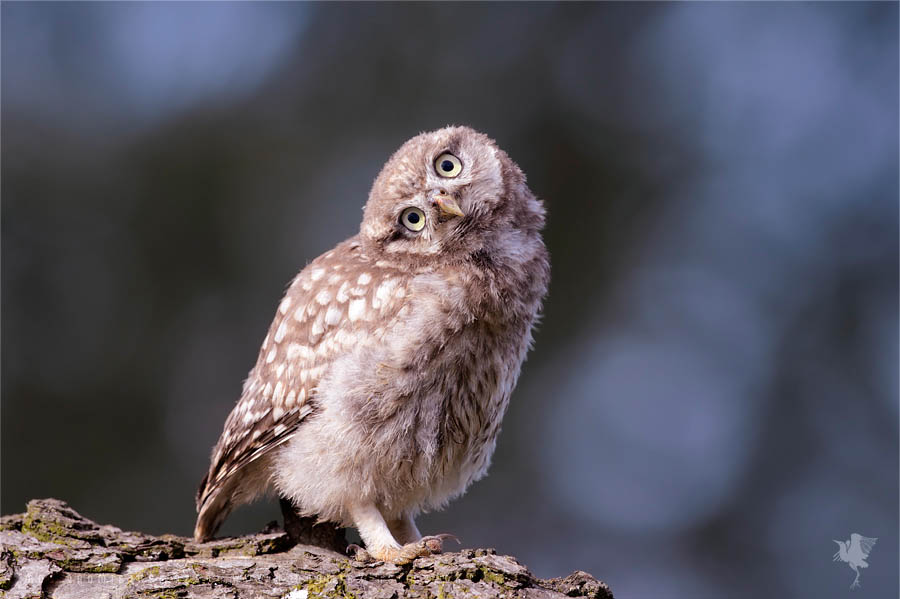 Funny little owlet chicl