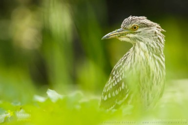 black-crowned night heron,Nycticorax nycticorax,night heron,hunting