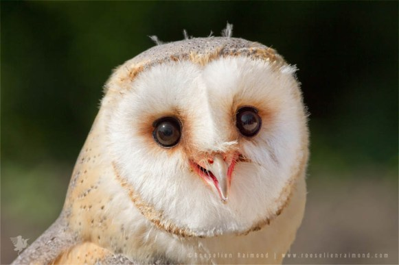 barn owl tyto alba portrait