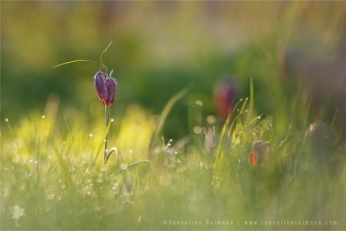 Snake's Head Fritillary chess flower fritillaria meleagris