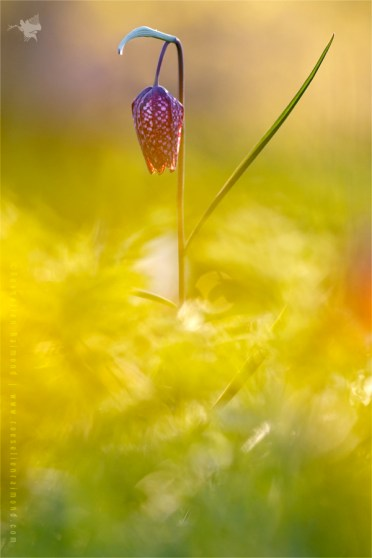 Snake's Head Fritillary chess flower fritillaria meleagris sundown