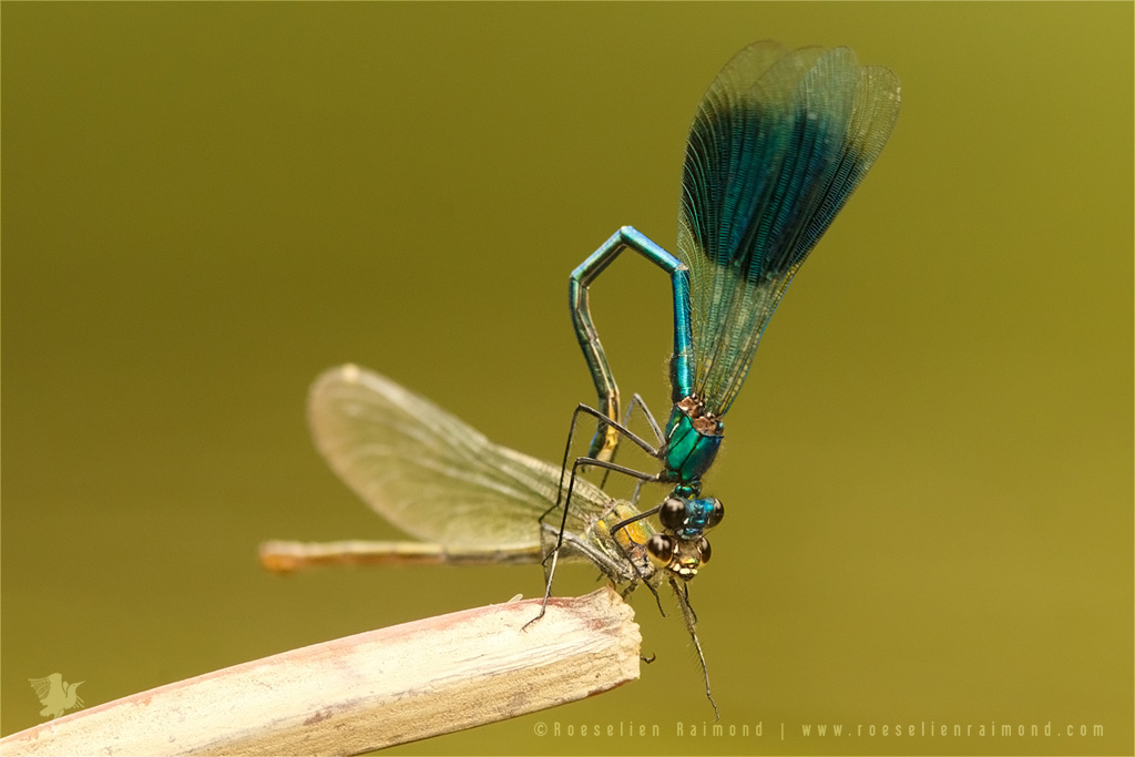 Banded Demoiselles (calopteryx splendens) courtship