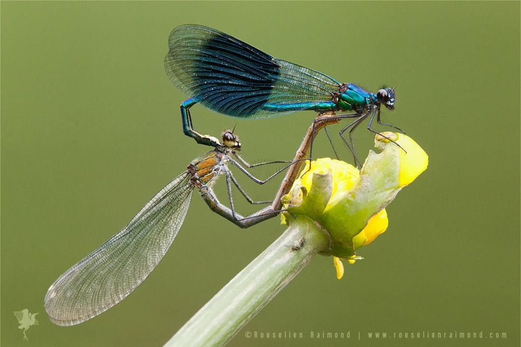 Banded Demoiselles (calopteryx splendens) copulating