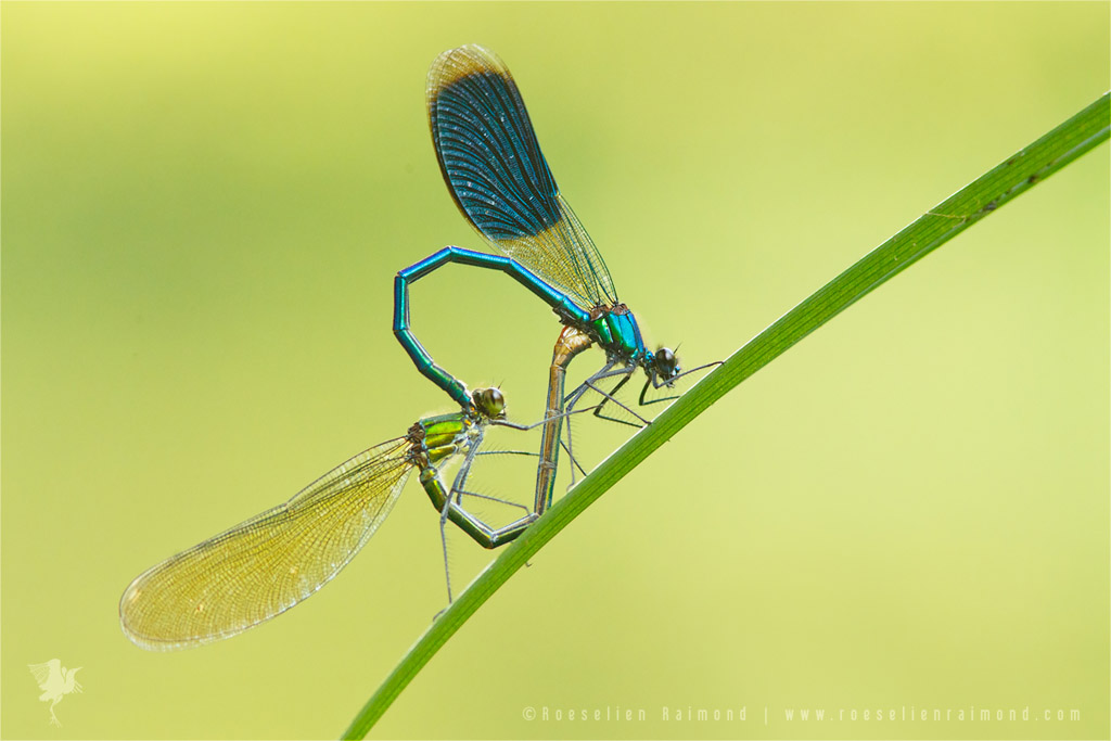 Banded Demoiselles calopteryx splendens courtship