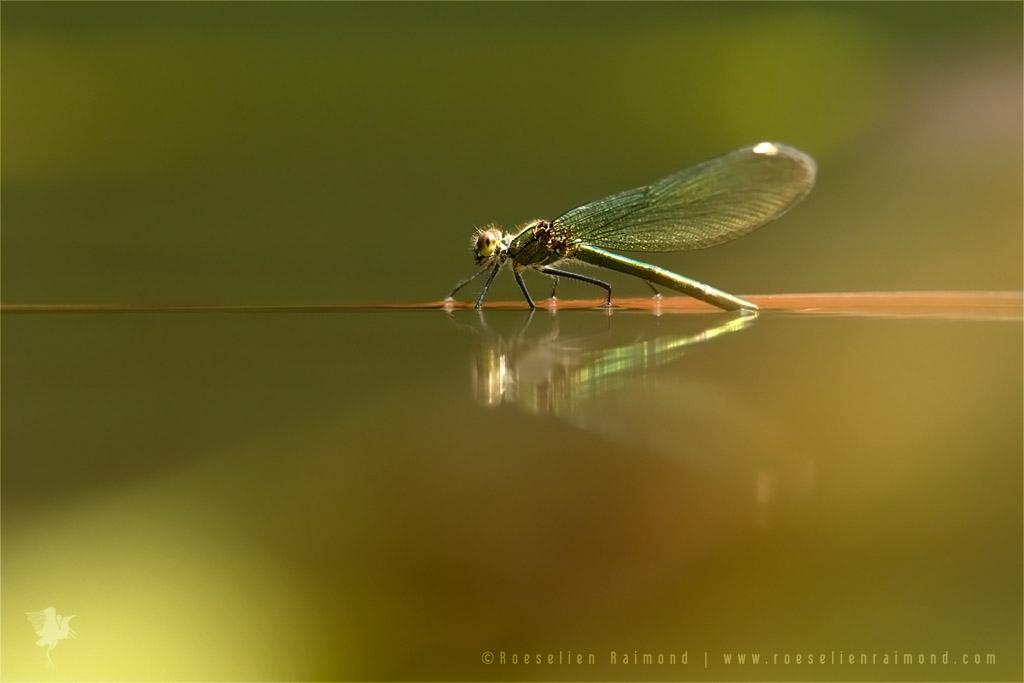 Banded Demoiselle (calopteryx splendens) oviposition