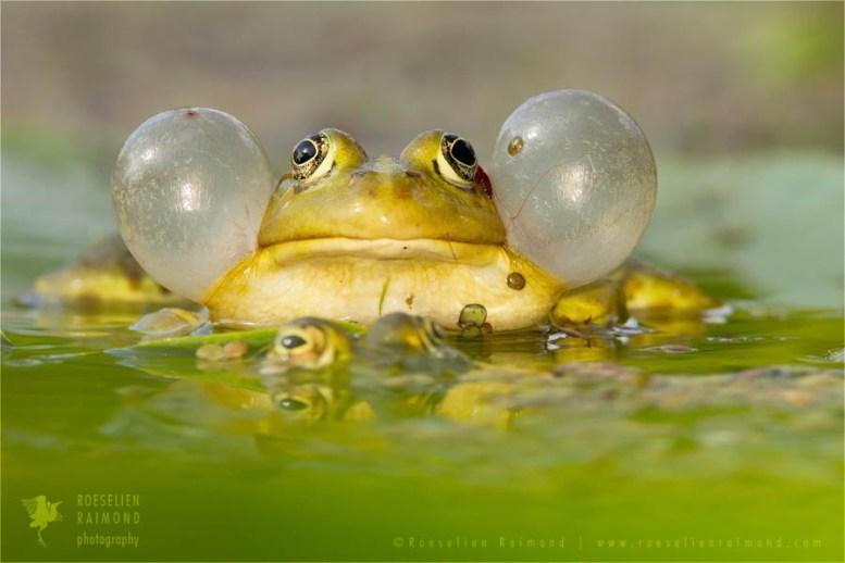 wildlife pool frog Pelophylax ridibundus cheeks green