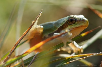 Juvenile tree frog