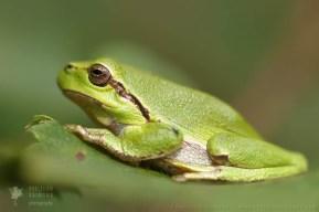 Tree Frog en Face