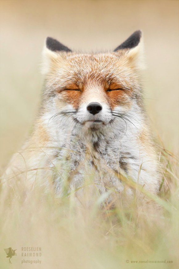 red fox relaxing