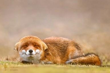 Zen Fox