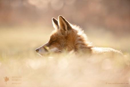 sleeping red fox