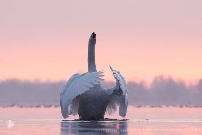 Mute Swan (Cygnus olor) male showing off at sunset in pink water