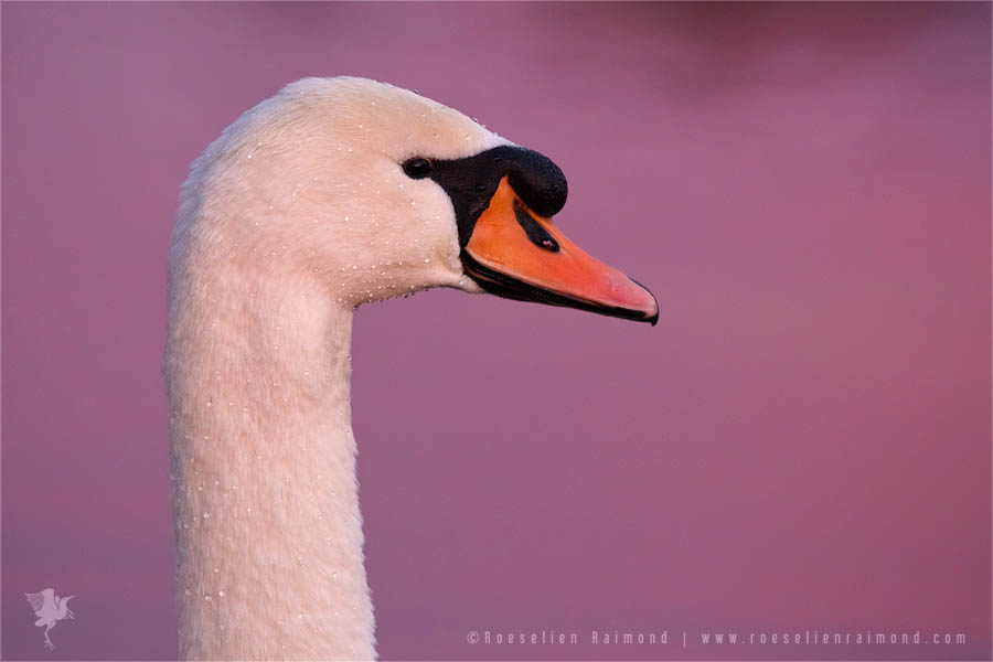 Mute swan sunset