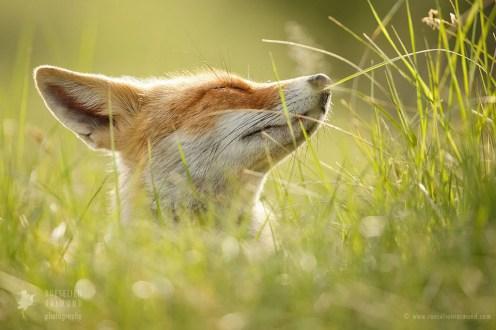 zen fox lazy