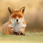 Wild red fox from zen foxes series photo art fine art