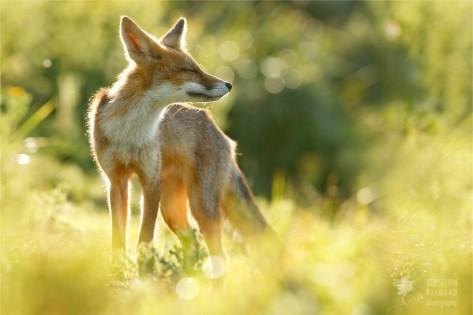Zen foxes zen fox in the sun photo art fine art