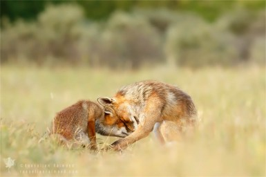 Red foxes photo art fineart