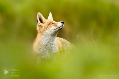 Zen fox series: chilling red fox