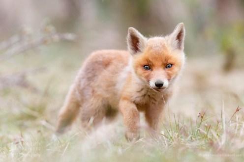 _X1B3265_cute_fox_kit