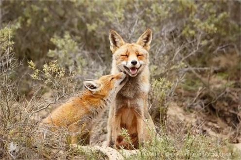 Fox love photo art