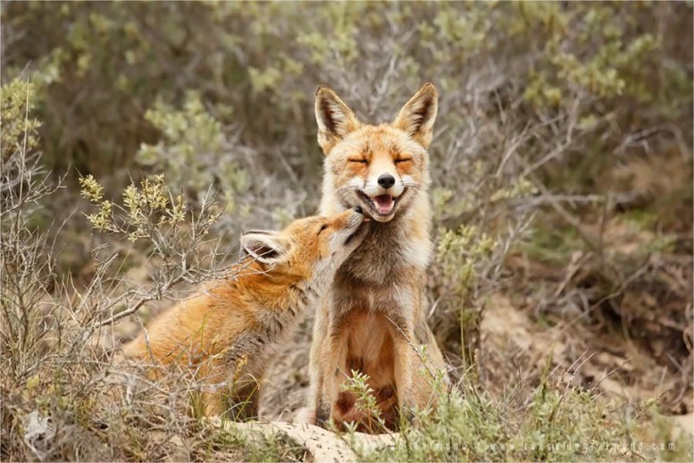 Fox love photo art