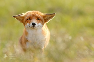 Fox with flat ears and a funny face