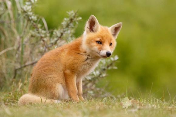 cute_fox_cub