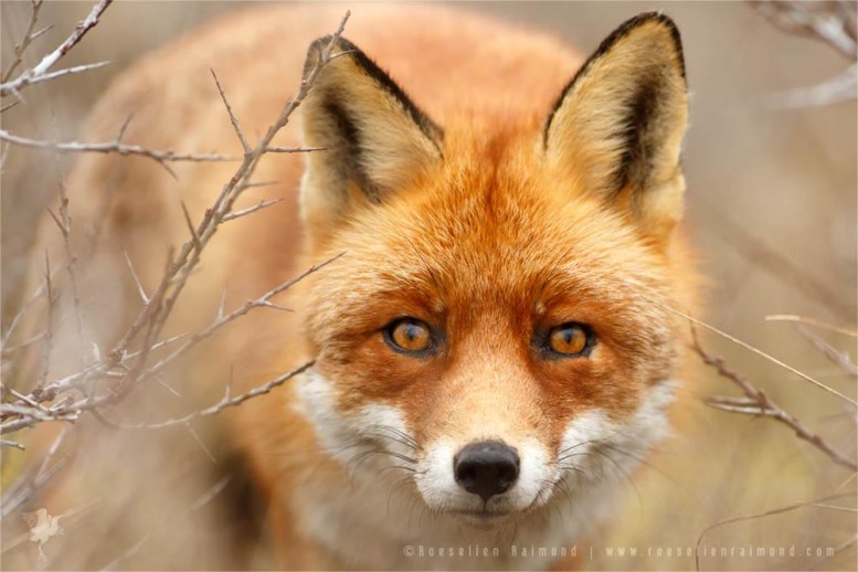 Male fox looking at the photographer