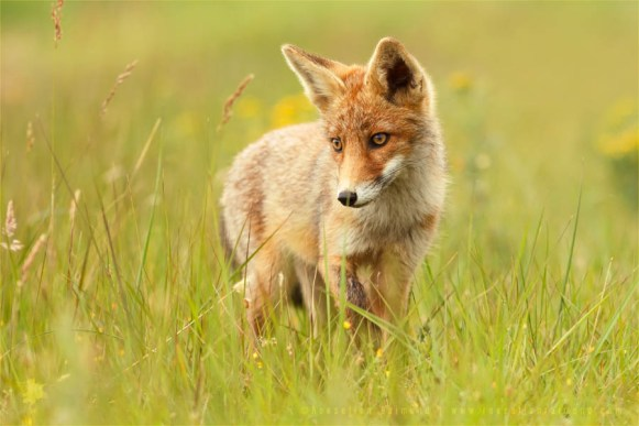 fox_kit