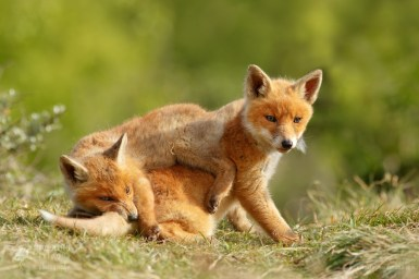 Red Fox Sibbling Foxy Love