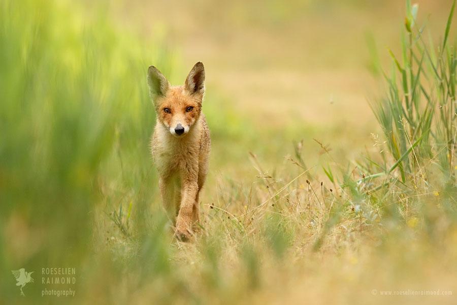 Juvenile red fox walking