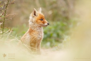 Cute red fox baby