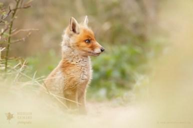 Cute red fox baby