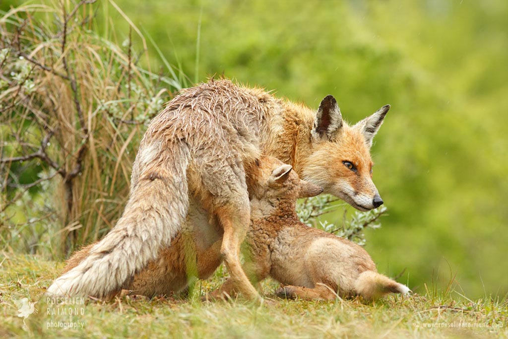 Red fox mother suckling her kits