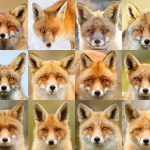 Fox portraits