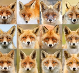 Fox portraits individuality