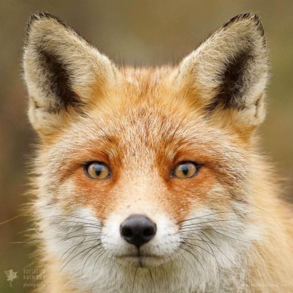 Hyper Fox