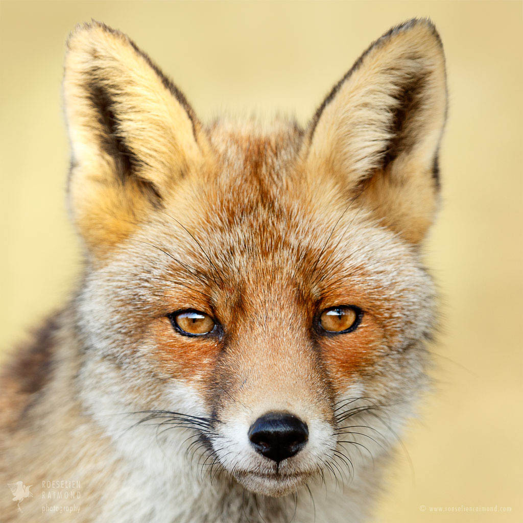 The Laughter of Foxes: A Study of Ted Hughes