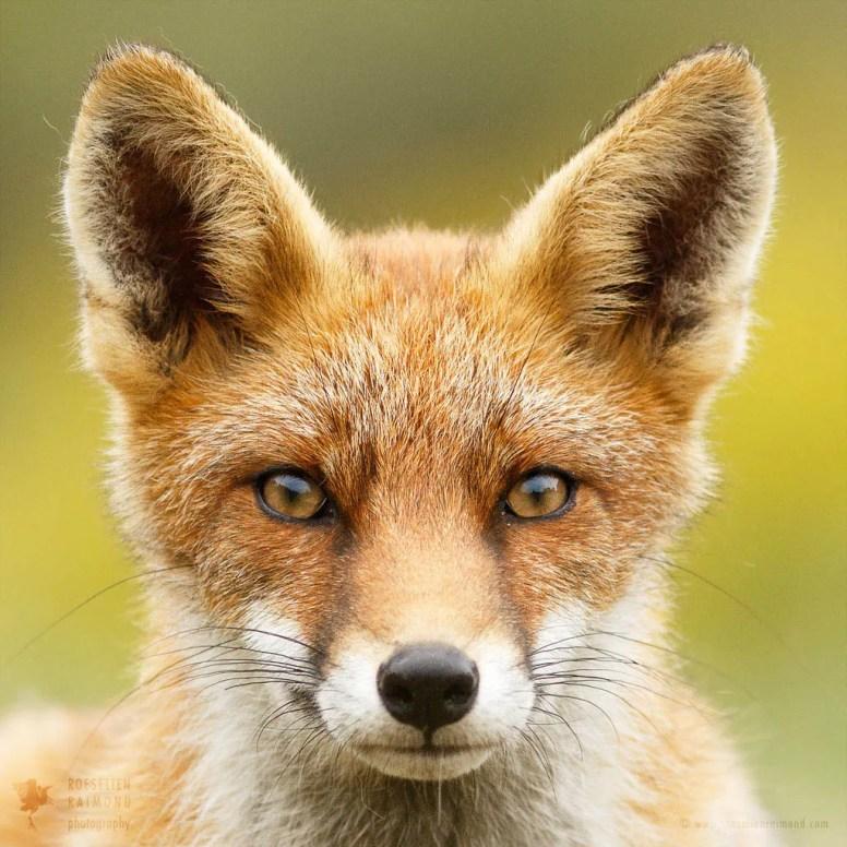 Eager Fox